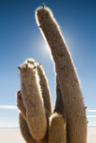 Close up of a cactus at Isla Incahuasi Stock Image
