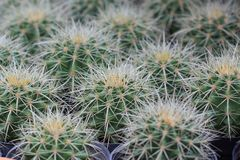 Close up of cactus in pattern Royalty Free Stock Photo