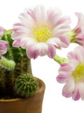 Close-up cactus with pink flower in a pot. Isolated on a white background.Isolated & clipping part Royalty Free Stock Photos