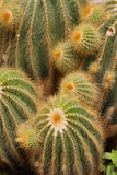 Close up of cactus plant Stock Image