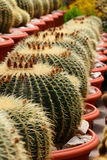 Close up of cactus plant Royalty Free Stock Image
