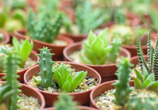 Close up cactus plant in pot Stock Photo