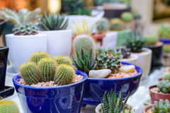 Close up cactus plant in pot Stock Photography