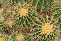 Close-up cactus. (plural: cacti, cactuses or cactus) is a member of the plant family Cactaceae. Their distinctive appearance is a result of adaptations to Stock Images