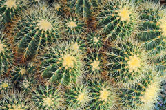 Close-up cactus. (plural: cacti, cactuses or cactus) is a member of the plant family Cactaceae. Their distinctive appearance is a result of adaptations to Royalty Free Stock Photography