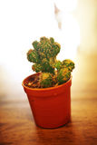 Close up cactus in pot Stock Photography