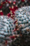 Close up on cactus with red flowers, top view Stock Photography