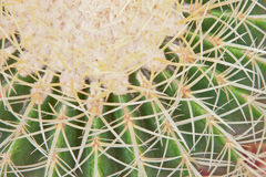 Close up of cactus and spines Royalty Free Stock Images