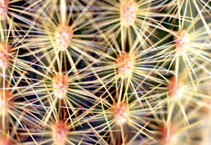 Close up cactus spines Royalty Free Stock Photography