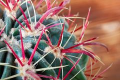 Closeup cactus stem with sharp spines, top view. Areoles green cactus with big red prickles. Royalty Free Stock Photo