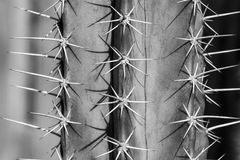 Close up of cactus thorn in black and white royalty free stock photo