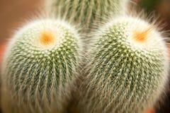 Close up of cactus Royalty Free Stock Photos