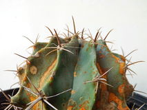 Close up of cactus. On white background Royalty Free Stock Photo