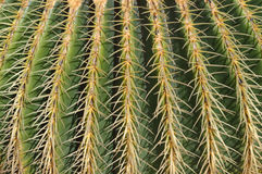 Close up of cactus with yellow needles. Close up of Echinocactus grusonii (Golden Barrel Cactus, Golden Ball, Mother-in-Law\'s Cushion) with yellow needles Royalty Free Stock Photography