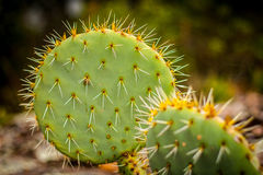 Close up of cactuses nopal Stock Image