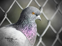 Close up of a Caged Pigeon Stock Image
