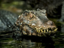 Close up of a caiman Royalty Free Stock Images