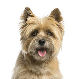 Close-up of a Cairn terrier. In front of a white background royalty free stock image