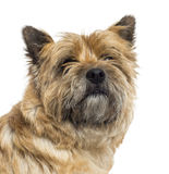 Close up of a Cairn Terrier, isolated Royalty Free Stock Photos