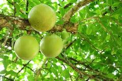 The close up of Calabash Tree fruit. Stock Photos
