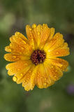 A close-up of calendula flower covered with rain droplets Royalty Free Stock Photography