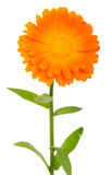 Close-up calendula flower Stock Images