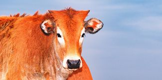 Close up on a calf, brown animal, young, breeding animal Stock Images