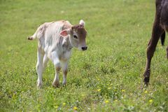 Close-up of calf in green field lit by sun with fresh summer grass on green blurred background. Cattle farming, breeding. Milk and meat production concept royalty free stock photography