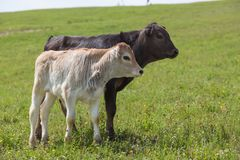 Close-up of calf in green field lit by sun with fresh summer grass on green blurred background. Cattle farming, breeding. Milk and meat production concept royalty free stock image