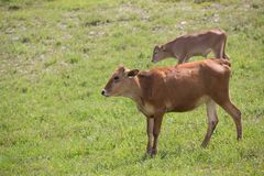 Close-up of calf in green field lit by sun with fresh summer grass on green blurred background. Cattle farming, breeding. Milk and meat production concept royalty free stock images