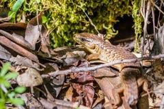Close up of California Alligator Lizard (Elgaria multicarinata multicarinata) that lost its long tail, Uvas Canyon county park, stock image