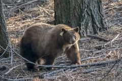 Close Up California Black Bear in Forest stock photo