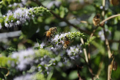 Close up of California Honey Bees. On native plant. APIDAE Cuckoo, Digger, Carpenter, Bumble, and Honey Bees honey bees nest in large cavities or hives, are Stock Photo