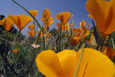 Close up of California poppies Stock Photos