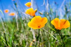 Close up of California poppies (Eschscholzia californica) blooming on the hills of south San Francisco bay area in springtime; San. Jose stock image