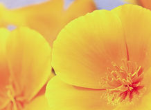 A Close Up California Poppy, Eschscholzia californica Royalty Free Stock Image