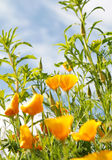 Close up of california poppy flower Stock Photography