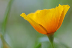 Close up of california poppy flower Royalty Free Stock Photo