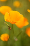 Close up of a California Poppy. Soft macro of a California Poppy with a green background royalty free stock image