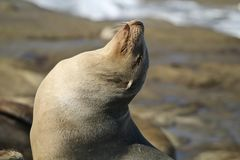 Close up of California Sea Lion with eyes closed. Close up of california sea lion sunning himself on the rocks in La Jolla California San Diego Royalty Free Stock Images