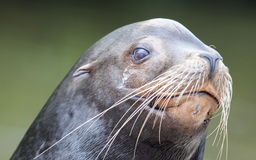 Close-up of a California sea lion Stock Image