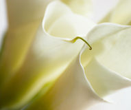 Close-up of Calla Lily flowers Stock Images