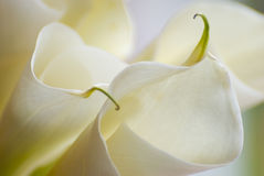 Close-up of Calla Lily flowers Royalty Free Stock Photography