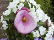 Close-up of calla lily Stock Image