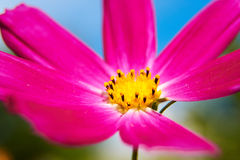 The close-up of calliopsis Stock Photos