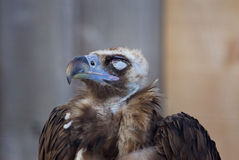 The close-up of a calm Cinereous vulture. The close-up of a calm strong Cinereous vulture Royalty Free Stock Photography