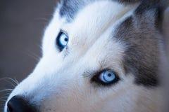 Close-up of Calm Husky Stock Photo