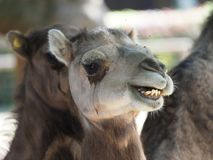 Close up of a camel stock photography