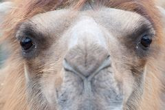 Close-up of a camel. (Camelus bactrianus domesticus Royalty Free Stock Images
