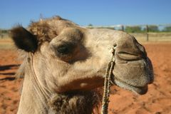 Close up camel. Close up of camels head. Alice Springs, Northern Territory, Australia Stock Photography